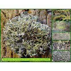 Pseudevernia furfuracea- fruticuleux corticole - 2050