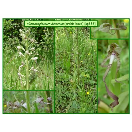 Orchis bouc - Himantoglossum hircinum - 336