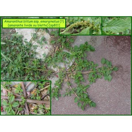 Amaranthe livide - Amaranthus blitum - 811