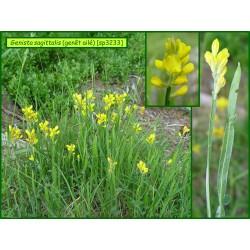 Genêt ailé - Genista sagittalis - 3233