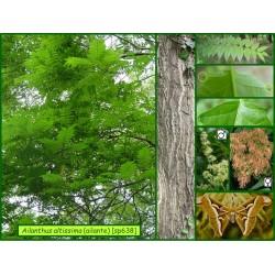 Ailante - Ailanthus altissima - 638