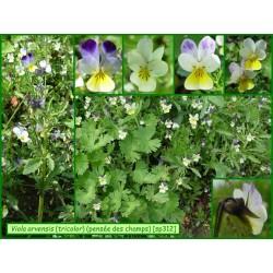 Pensée des champs - Viola arvensis - 199-312