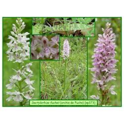 Orchis de Fuchs - Dactylorhiza fuchsii - 373