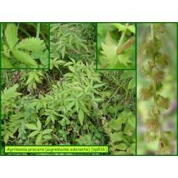 Aigremoine odorante - Agrimonia procera - 816