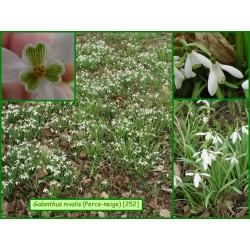 Perce-neige - Galanthus nivalis - 252