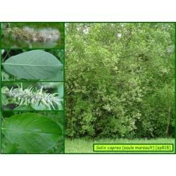 Saule marsault - Salix caprea - 818