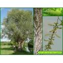 Saule blanc - Salix alba - 819
