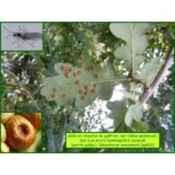Galle en bouton de guêtre du Chêne - Neuroterus numismalis - 820