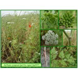 Petite ciguë - Aethusa cynapium - 447