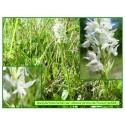 Orchis de fuchs var. albinos - Dactylorhiza fuchsii - 528