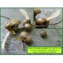 Galle de l'Érable sycomore - Pediaspis aceris - 823