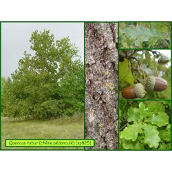 Chêne pédonculé - Quercus robur - 825