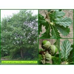 Chêne sessile - Quercus petraea - 809