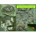 Galle en tonnelet du Ganoderme - Agathomyia wankowiczii - 826