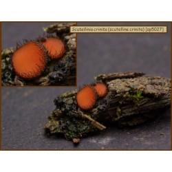 Scutelline crinita - Scutellinia crinita - 5027
