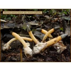Satyre des chiens - Mutinus caninus - 5028
