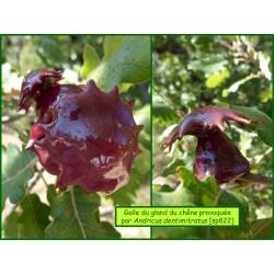 Galle du gland du Chêne - Andricus dentimitratus - 822