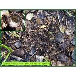 Cyathe strié, nid d'oiseau - Cyathus striatus - 5029