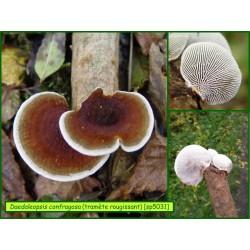 Tramète rougissant - Daedaleopsis confragosa - 5031