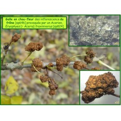 Galle en chou-fleur du frêne - Eryophyes fraxinivorus - 824