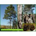 Pin laricio de Corse - Pinus nigra ssp. laricio - 829