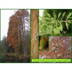 Cyprès chauve - Taxodium distichum - 828