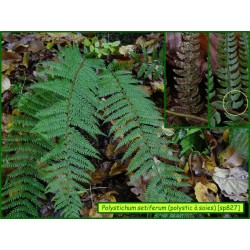 Polystic à soies  - Polystichum setiferum - 827