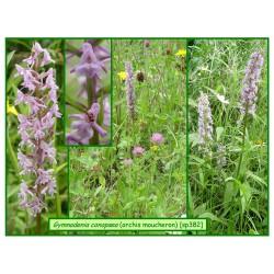 Orchis moucheron - Gymnadenia conopsea - 382