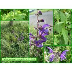 Sauge des prés - Salvia pratensis - 243