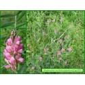 Sainfoin - Onobrychis viciifolia - 329