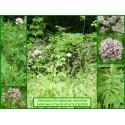 Valériane à feuilles étroites - Valeriana officinalis ssp. tenuifolia - 369