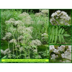 Valériane officinale - Valeriana officinalis ssp. excelsa  - 388