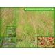 Patience petite oseille - Rumex ocetosella - 439