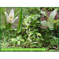 Céphalanthère de Damas - Cephalanthera damasonium - 532