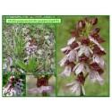 Orchis pourpre - Orchis purpurea - 315