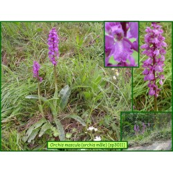 Orchis mâle - Orchis mascula - 3011