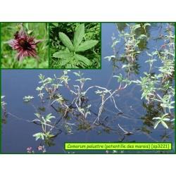 Potentille des marais - Comarum palustre - 3221