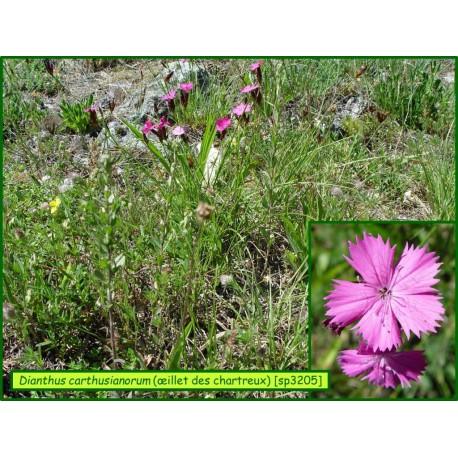 Oeillet des Chartreux - Dianthus carthusianorum - 3205