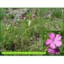 Œillet des Chartreux - Dianthus carthusianorum - 3205