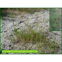 Agrostide capillaire - Agrostis capillaris - 804