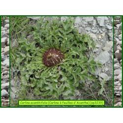 Carline à feuilles d'acanthe - Carlina acanthifolia - 3239