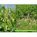 Orchis blanchâtre - Pseudorchis albida - 3228