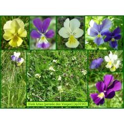 Pensée des Vosges - Viola lutea - 3230