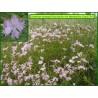 Œillet  de Montpellier - Dianthus hyssopifolius - 3234