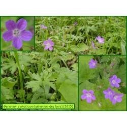 Géranium des bois - Geranium sylvaticum - 3215