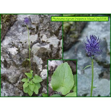 Raiponce bleue - Phyteuma nigrum - 3218