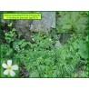 Renoncule à feuilles de platane - Ranunculus platanifolius - 3213
