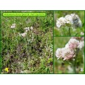 Pied de chat - Antennaria dioica - 3229