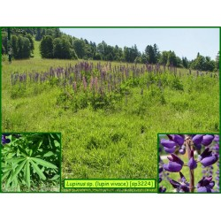 Lupin vivace sp. - Lupinus sp. - 3224