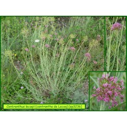 Centranthe de Lecoq - Centranthus lecoqii - 3236
